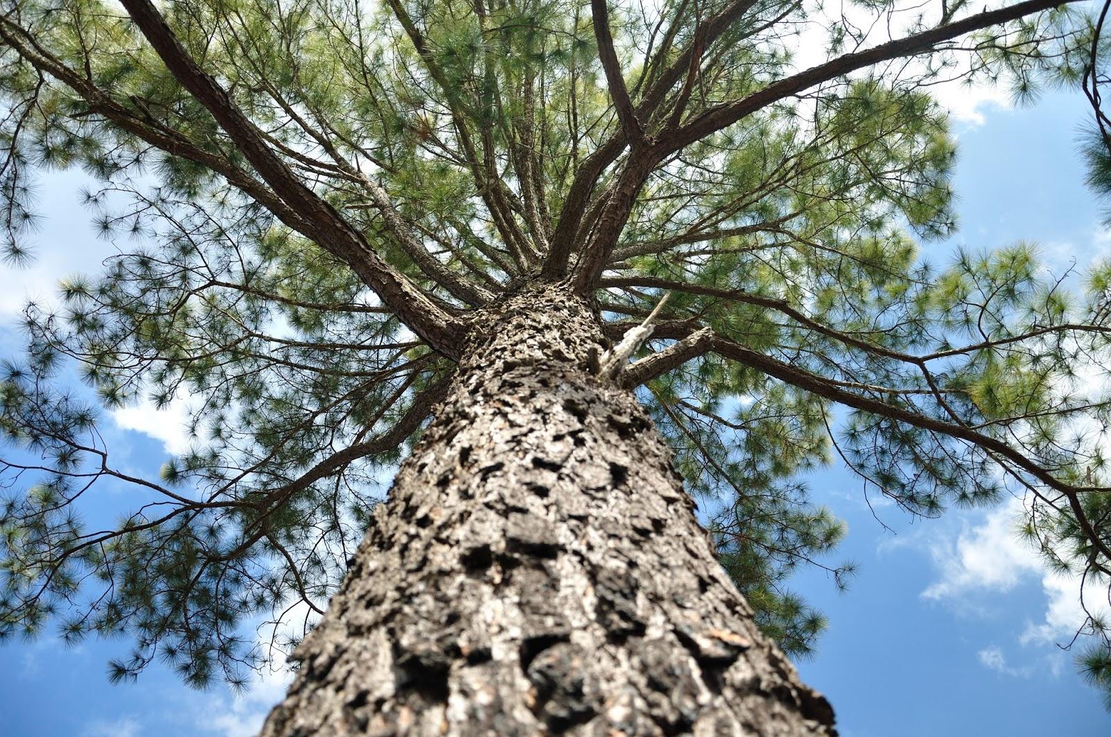松樹皮萃取精華