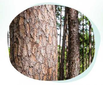 松樹皮萃取物