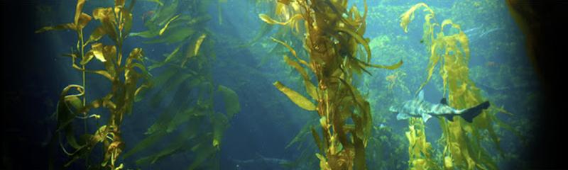 高分子CUA褐藻醣膠