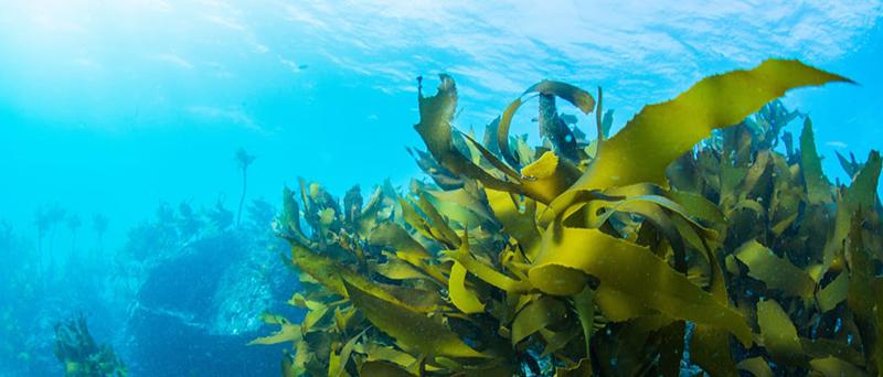JUICY Jolie絕世翹麗成分中的海藻示意圖